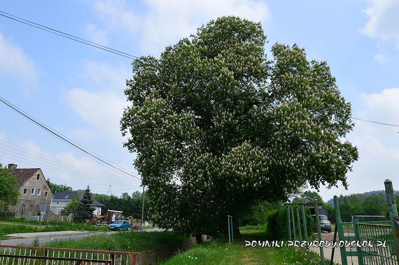 Wałbrzych Lubiechów - pomnikowy kasztanowiec w okresie kwitnienia