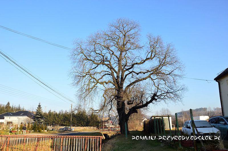 Wałbrzych-Lubiechów - pomnikowy kasztanowiec zimą