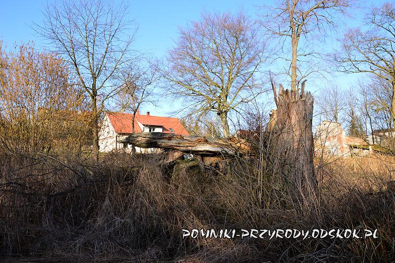 Wawrzeńczyce - obłamany pomnikowy cypryśnik