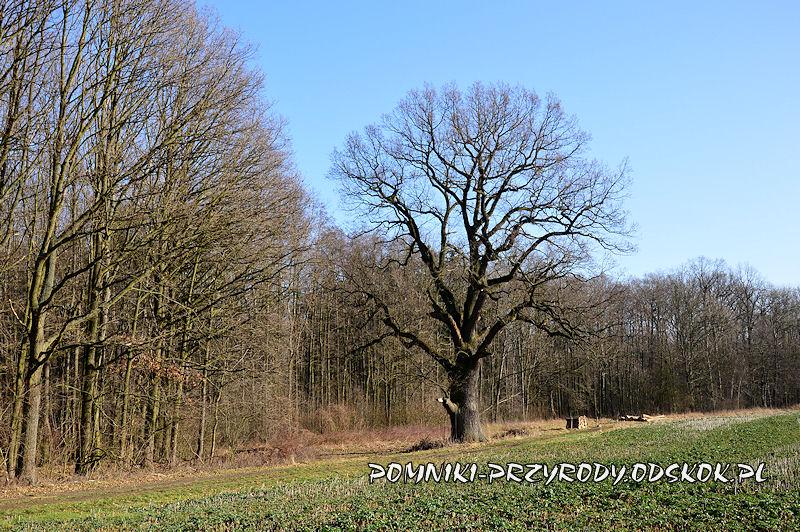 Wawrzeńczyce - pomnikowy dąb o obwodzie 615 cm