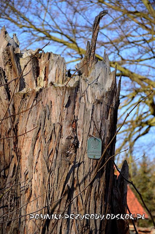 Wawrzeńczyce - resztki pomnikowego cypryśnika