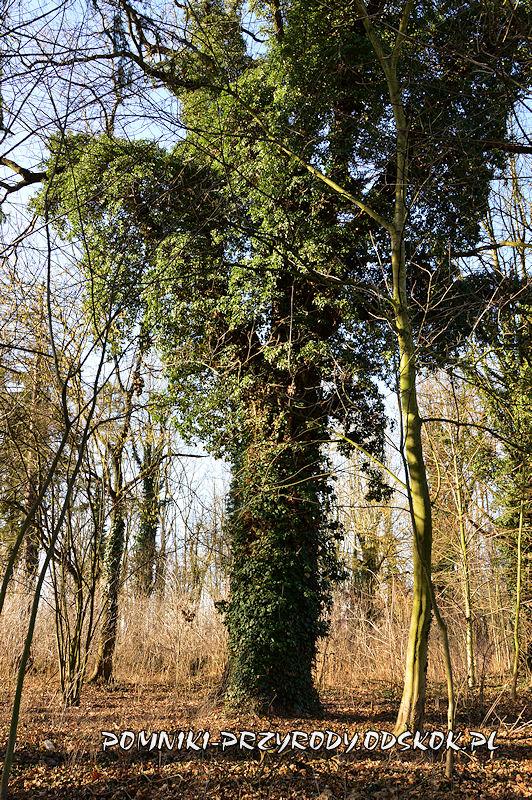 park w Ramułtowicach - pień pomnikowego dębu II