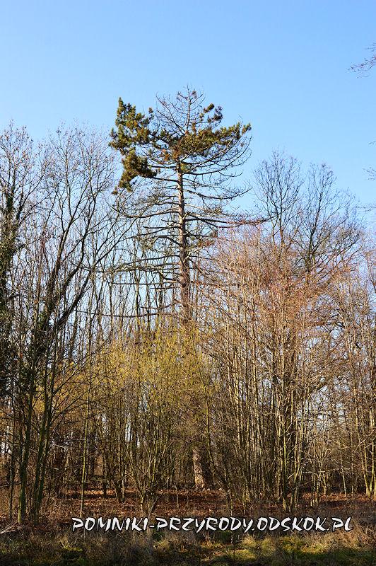 park w Ramułtowicach - pomnikowa sosna czarna