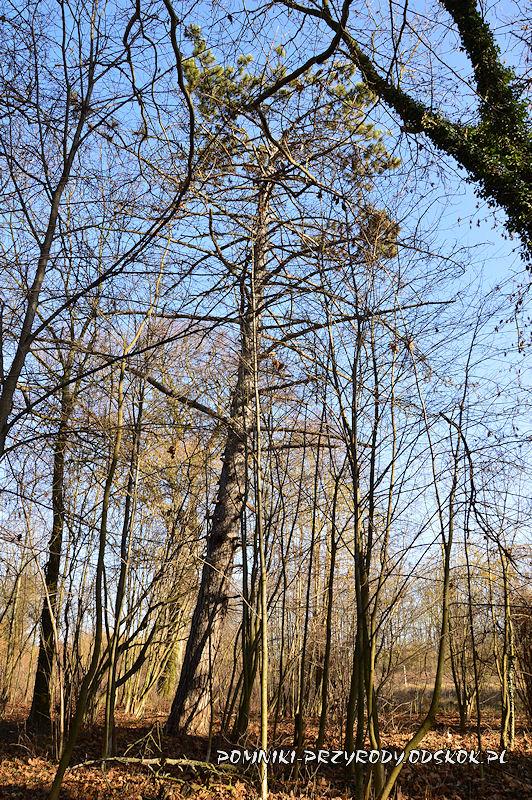 park w Ramułtowicach - pomnikowa sosna