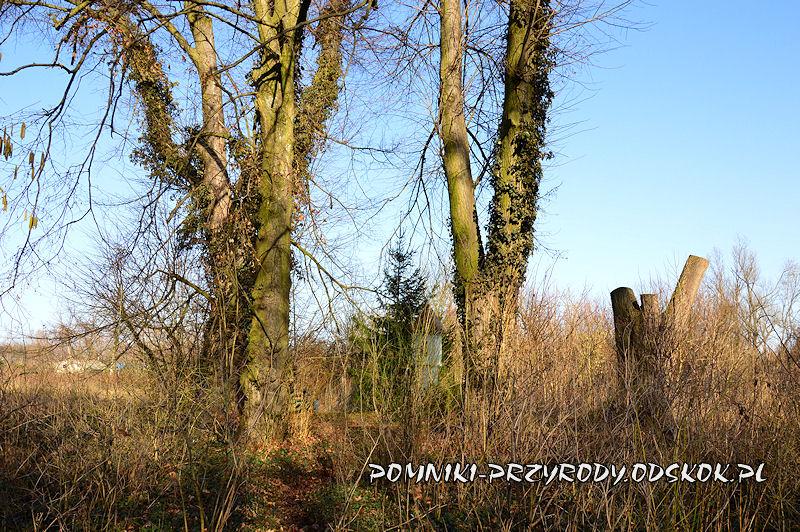park w Ramułtowicach - pomnikowe lipy drobnolistne