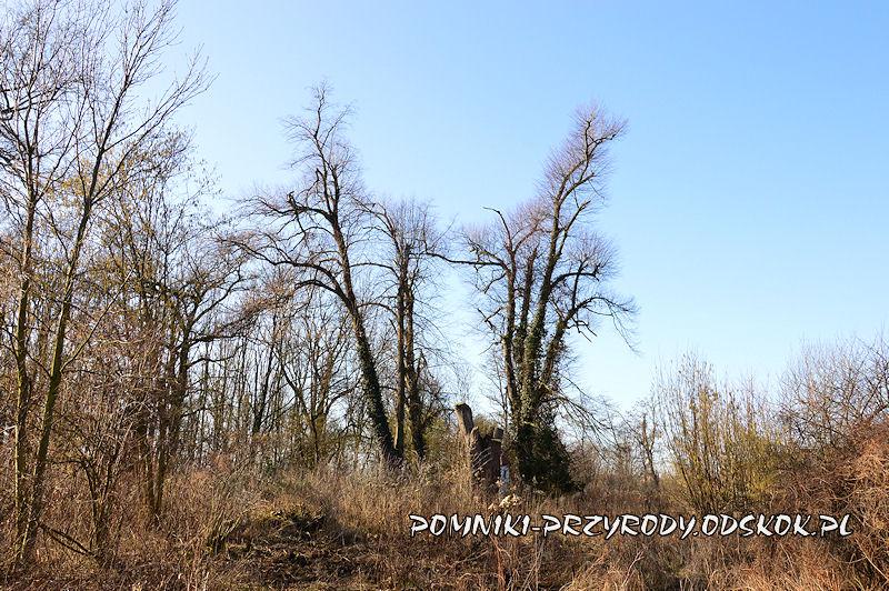 park w Ramułtowicach - pomnikowe lipy
