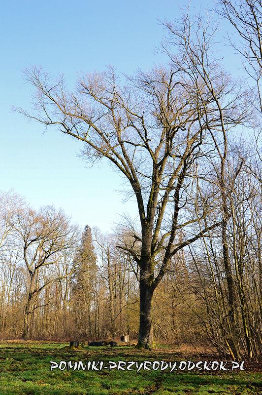 park w Ramułtowicach - pomnikowy dąb I