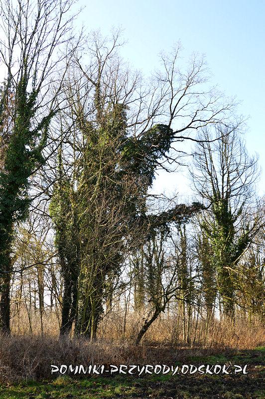 park w Ramułtowicach - pomnikowy dąb II