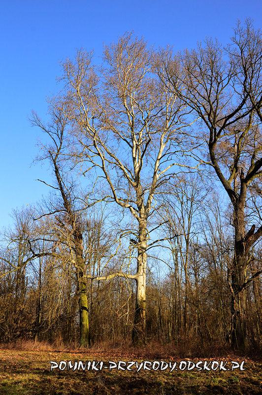 park w Ramułtowicach - pomnikowy platan I