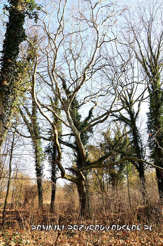 park w Ramułtowicach - pomnikowy platan II
