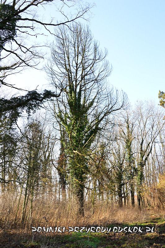 park w Ramułtowicach - uschnięta pomnikowa sosna limba