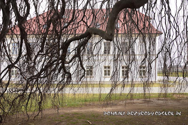 Żelazów - gałęzie pomnikowego buka