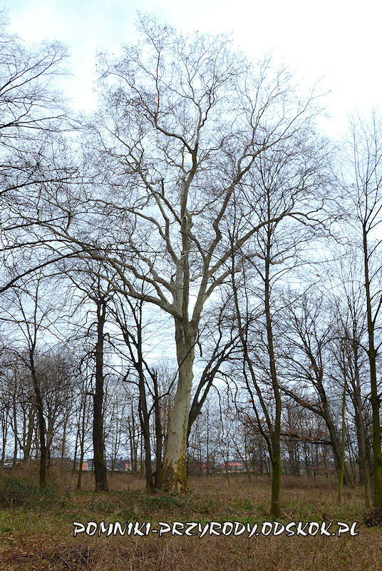 Bartoszówek - okazały platan w parku