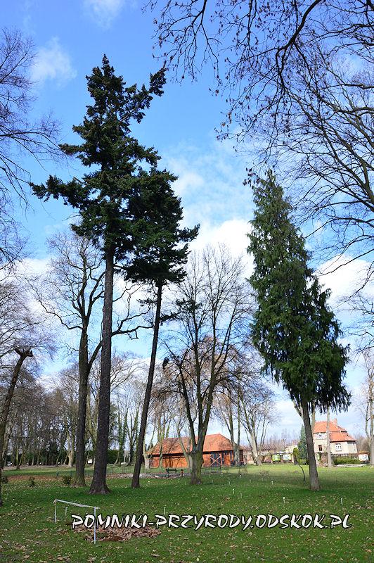 park w Dalkowie - daglezja zielona i cyprysik nutkajski
