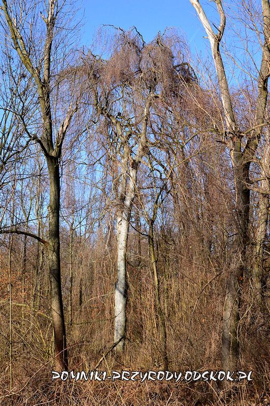 Park w Sikorzycach - buk w odmianie Pendula