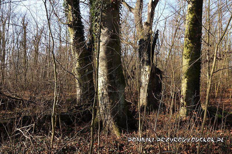 Park w Sikorzycach - grupa pomnikowych buków