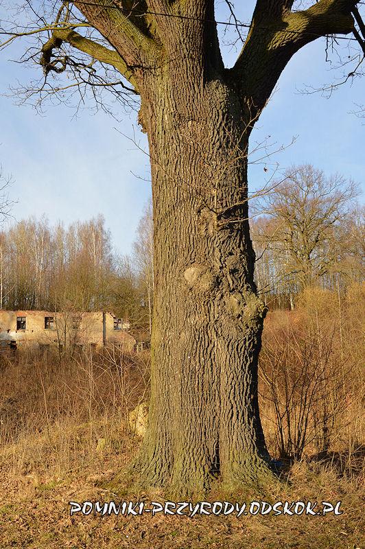 Przeździedza - pień pomnikowego dębu Maria