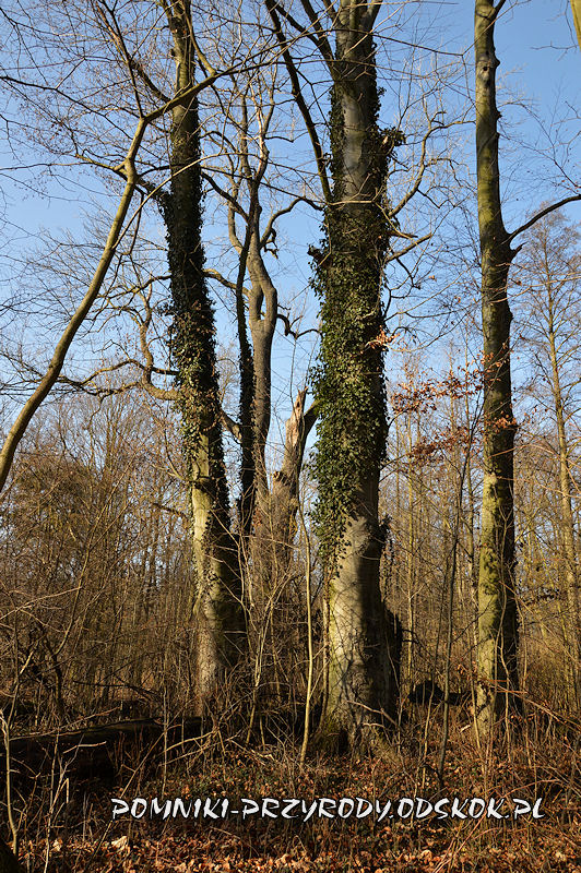 Sikorzyce - grupa pomnikowych buków