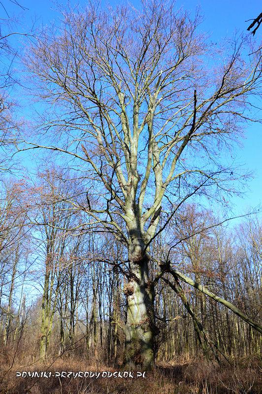 Sikorzyce - pomnikowy buk w odm. czerwonolistnej