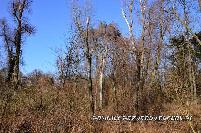 Sikorzyce - pomnikowy buk w odmianie Pendula