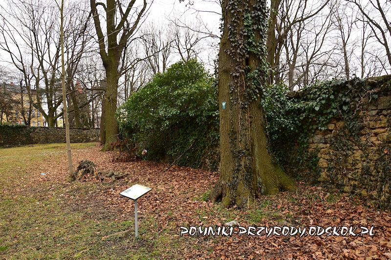 Strzegom - pień pomnikowego jawora