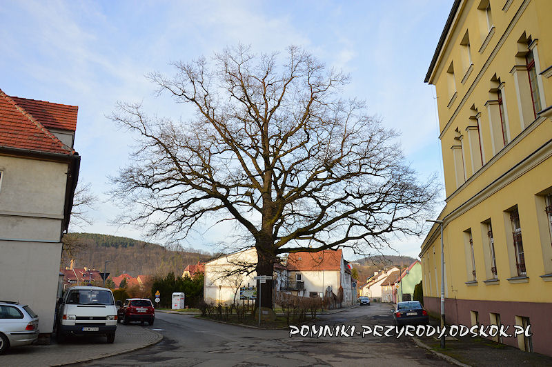 Wleń - pomnikowy Dąb Pokoju