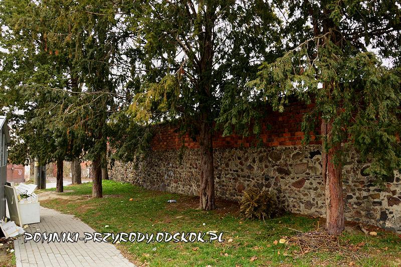 okazałe cisy przy murach obronnych Grodkowa