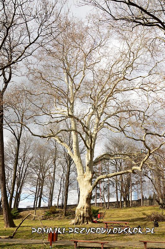 park przy przedszkolu w Strzegomiu - pomnikowy platan