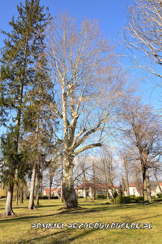 park w Żółkiewce - pomnikowy platan klonolistny nr 1