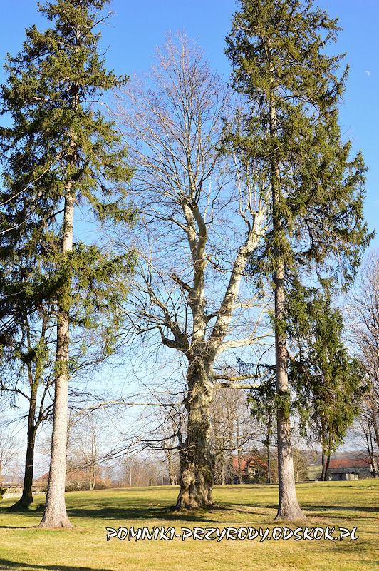 park w Żółkiewce - pomnikowy platan nr 1