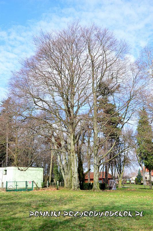 park w Dalkowie - grupa pomnikowych buków wczesną wiosną