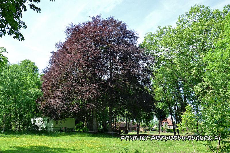 park w Dalkowie - grupa pomnikowych buków