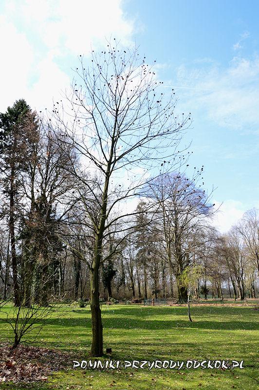 park w Dalkowie - kasztan jadalny