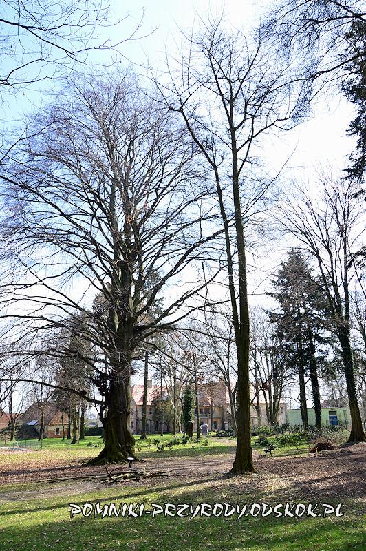 park w Dalkowie - miłorząb i pomnikowy buk