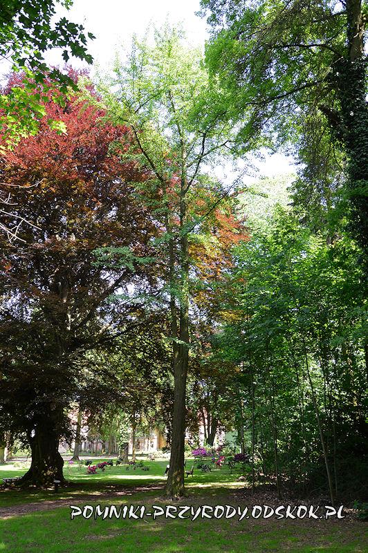 park w Dalkowie - miłorząb rosnący obok pomnikowego buka