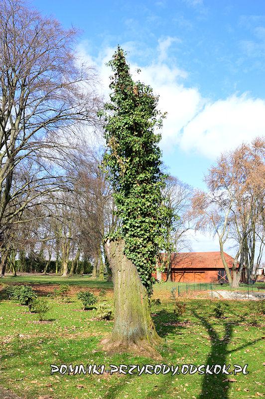 park w Dalkowie - obłamana iglicznia
