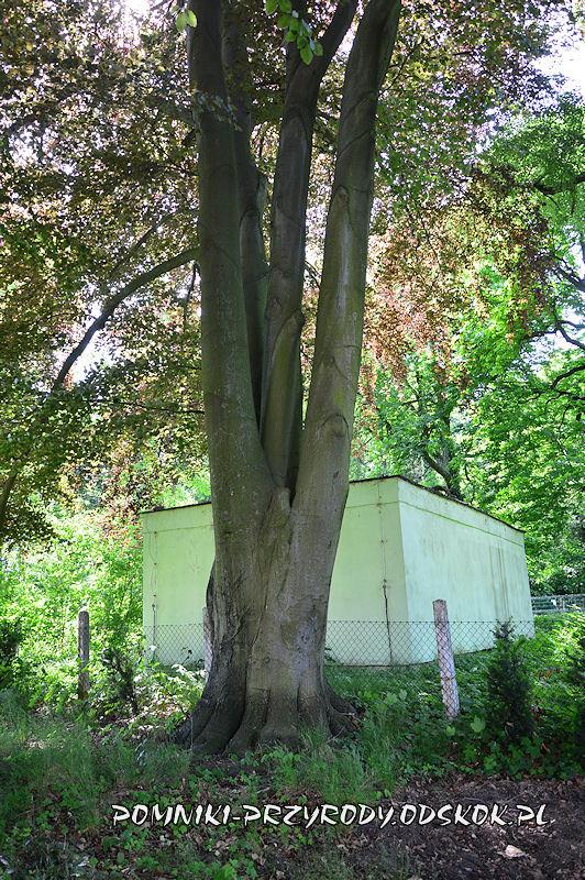 park w Dalkowie - pień jednego z pomnikowych buków