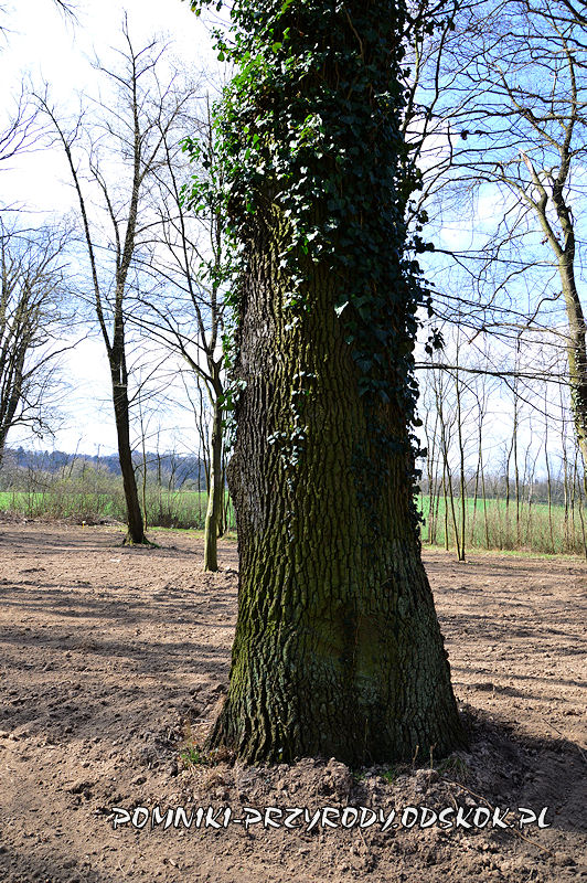 park w Dalkowie - pień pomnikowego dębu II