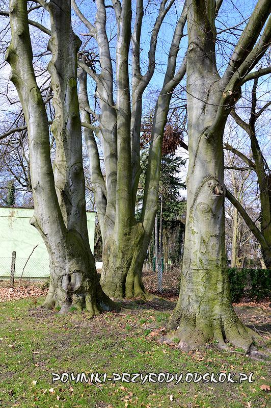 park w Dalkowie - pnie pomnikowych buków