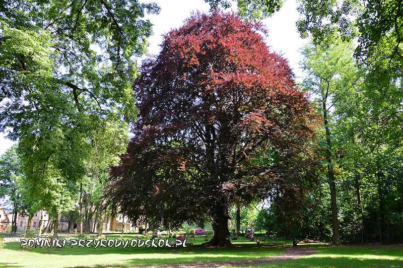 park w Dalkowie - pomnikowy buk w odmianie czerwonolistnej