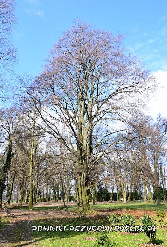 park w Dalkowie - pomnikowy buk wczesną wiosną