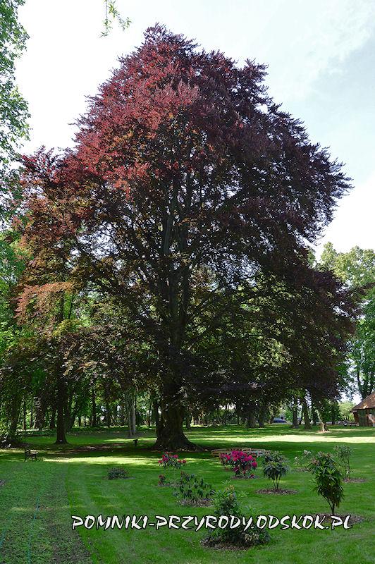 park w Dalkowie - pomnikowy buk