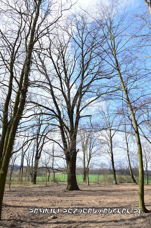 park w Dalkowie - pomnikowy dąb I