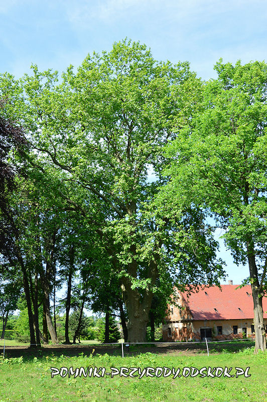 park w Dalkowie - pomnikowy platan latem