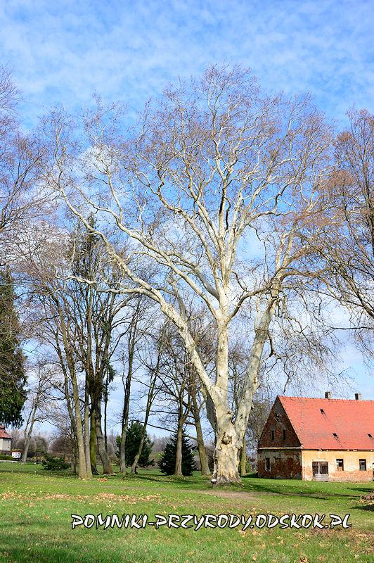 park w Dalkowie - pomnikowy platan wczesną wiosną