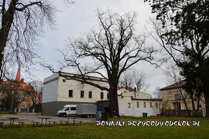pomnikowy dąb na tyłach Domu Kultury w Grodkowie