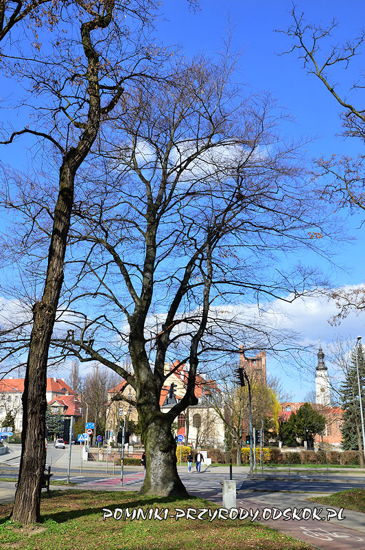 Park Leśny w Głogowie - pomnikowy buk zimą