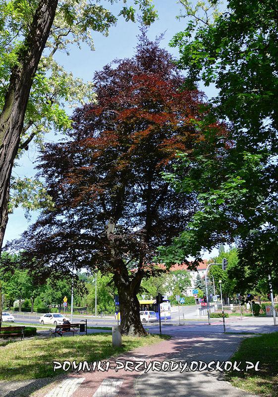 Park Leśny w Głogowie - pomnikowy buk