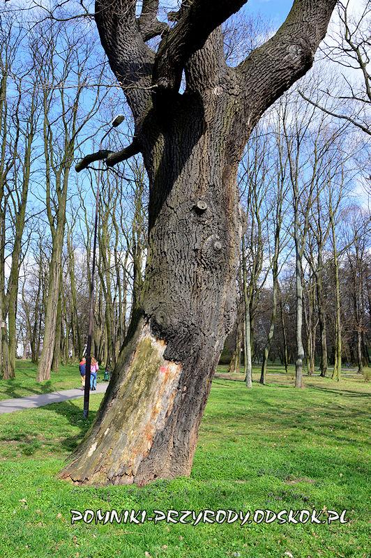 Park nad Strumykiem w Głogowie - pień dębu Kacper