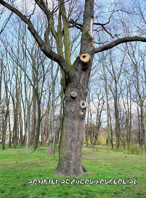 Park nad Strumykiem w Głogowie - pień dębu Maciej
